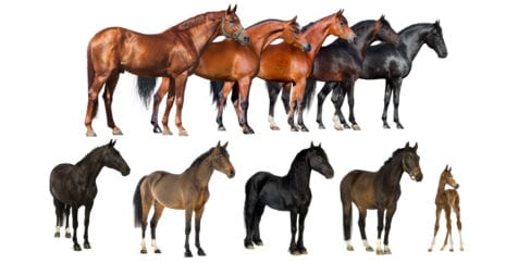 Image of horses with different conformation