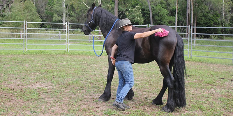 A horse that stands while being groomed is in self-carriate