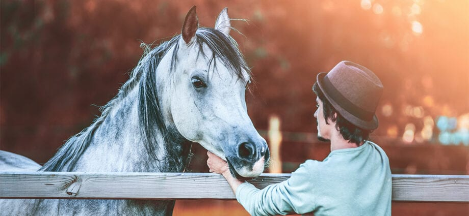 Grey horse greets a man