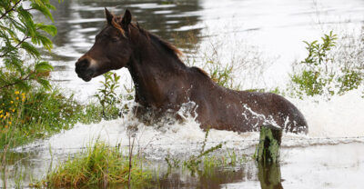 Horse caught in flood