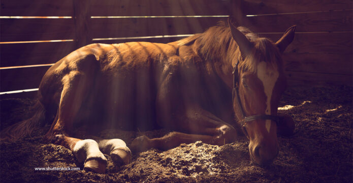 chestnut horse lying down in a stable