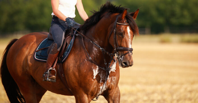 Bay horse exercising in the heat