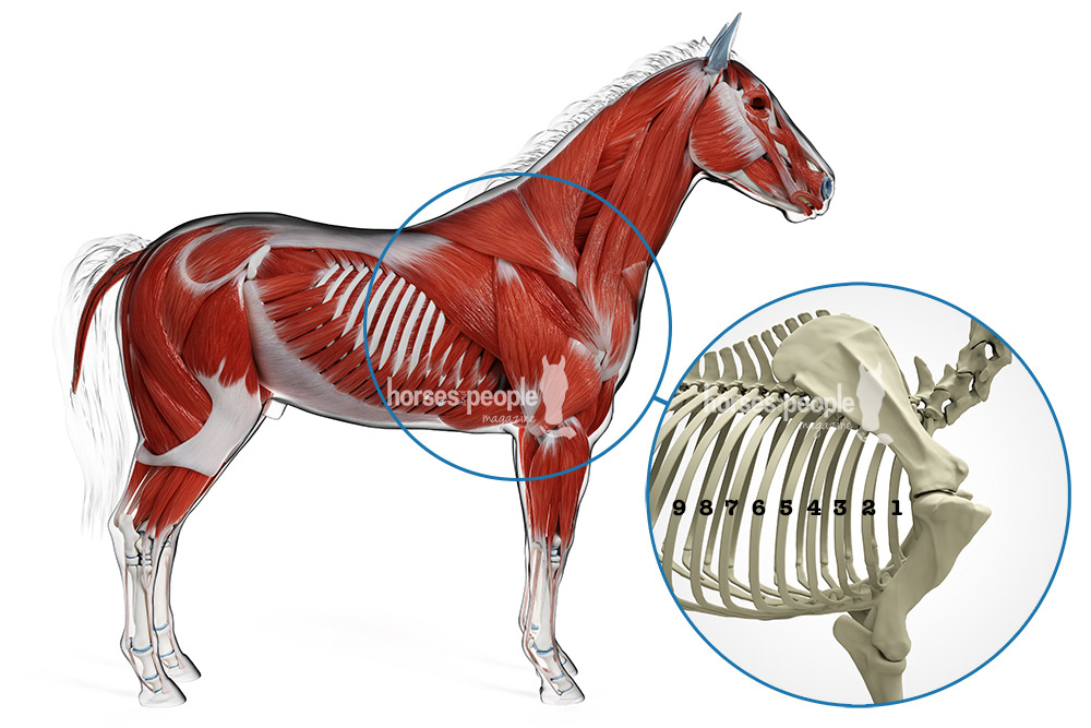 Muscle and skeletal anatomy of the horse