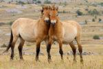 Two Przewalskii horses