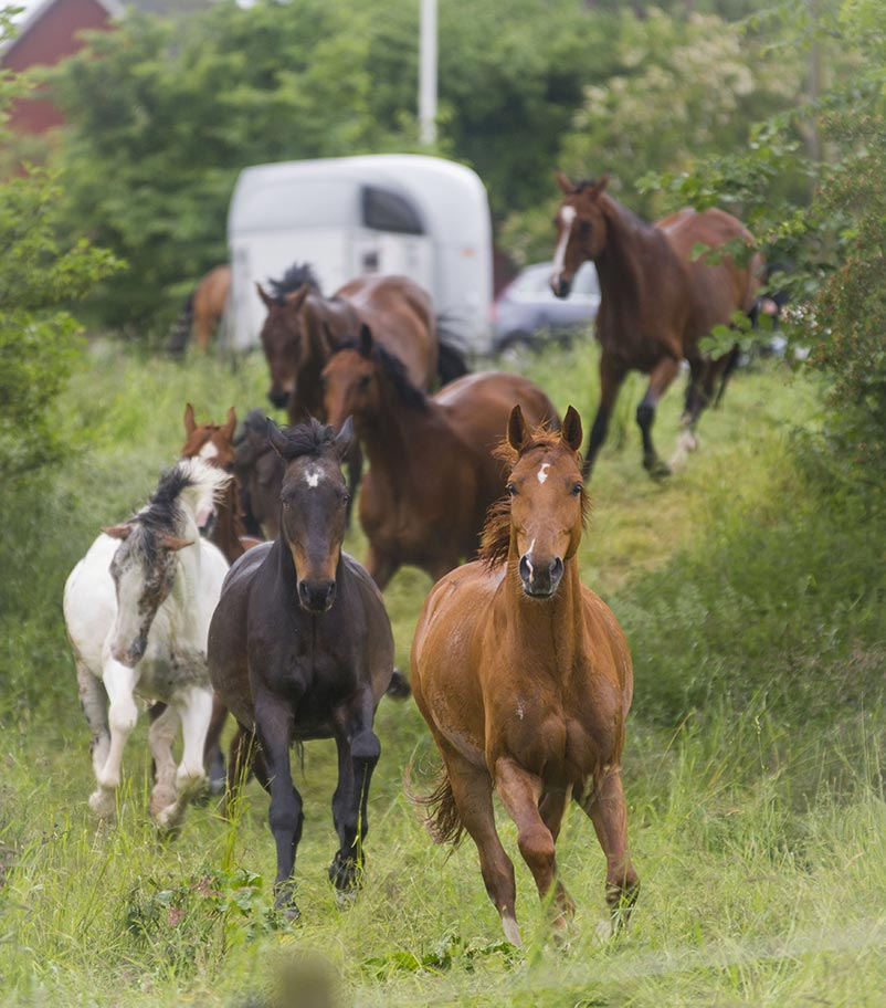 A group of horses cantering